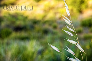 Foxtails blowing in the wind. Sespe wilderness.  Samsung 16-50mm F 5.6 at 50 MM